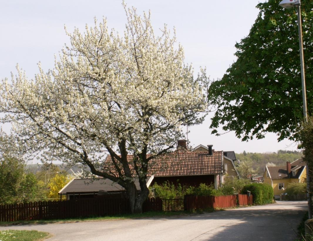 Inte lånad - mitt eget körsbärsträd just nu