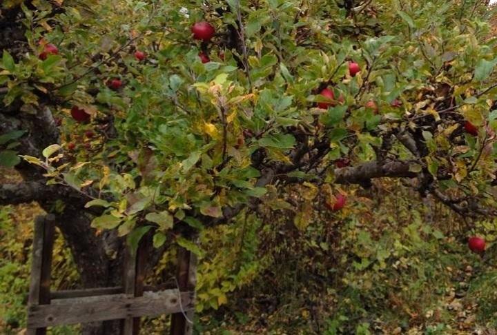 Marias äpplen